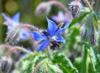 Borago officinalis PMS Syndrom